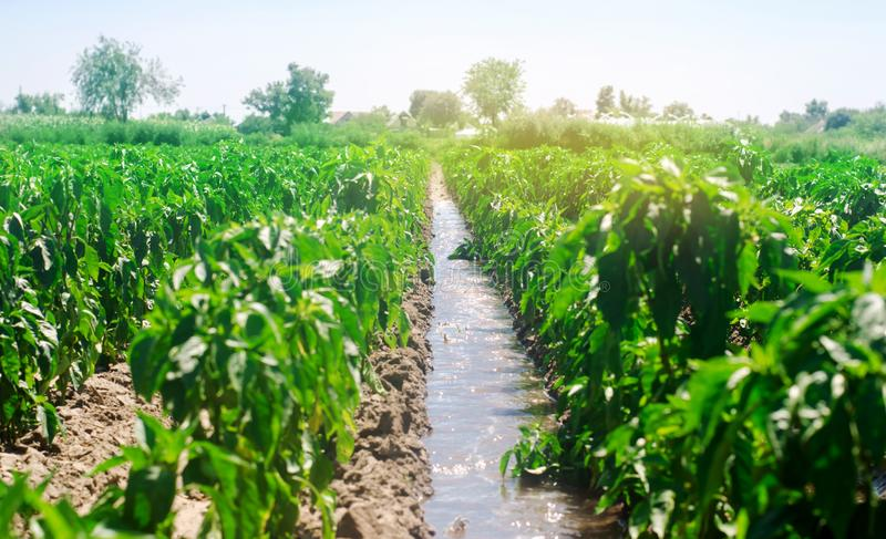 Irrigation of peppers in the field. Traditional natural watering. Eco-friendly products. Agriculture and farmland. Crops. Ukraine. Kherson region. Growing royalty free stock photos