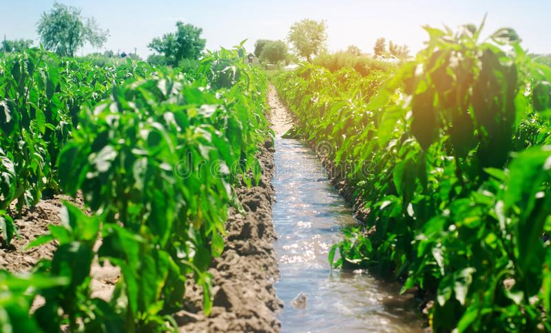 Irrigation of peppers in the field. Traditional natural watering. Eco-friendly products. Agriculture and farmland. Crops. Ukraine. Kherson region. Growing stock photos