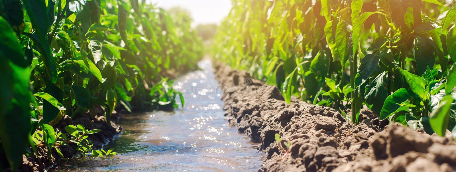Irrigation of peppers in the field. Traditional natural watering. Eco-friendly products. Agriculture and farmland. Crops. Ukraine royalty free stock images