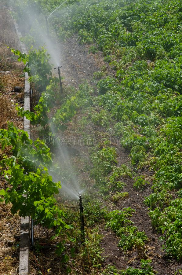 Irrigation of a potatoes cultivation. stock photography