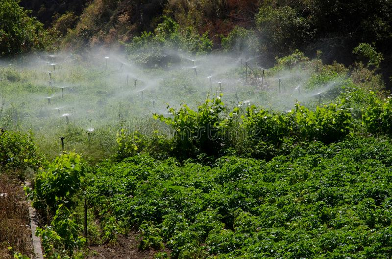 Irrigation of a potatoes cultivation. royalty free stock photos