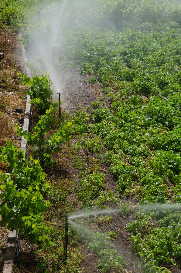 Irrigation of a potatoes cultivation. stock image