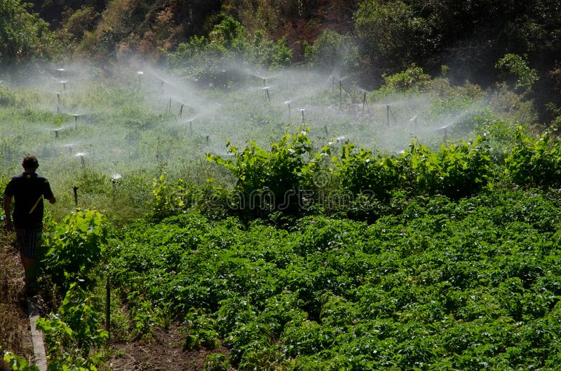 Irrigation of a potatoes cultivation. Agulo. La Gomera. Canary Islands. Spain stock image