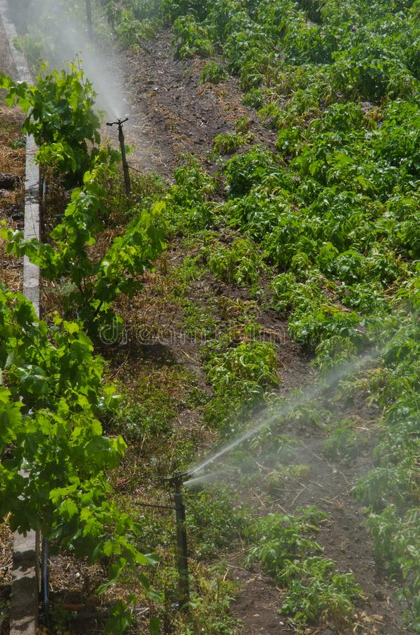Irrigation of a potatoes cultivation. stock images