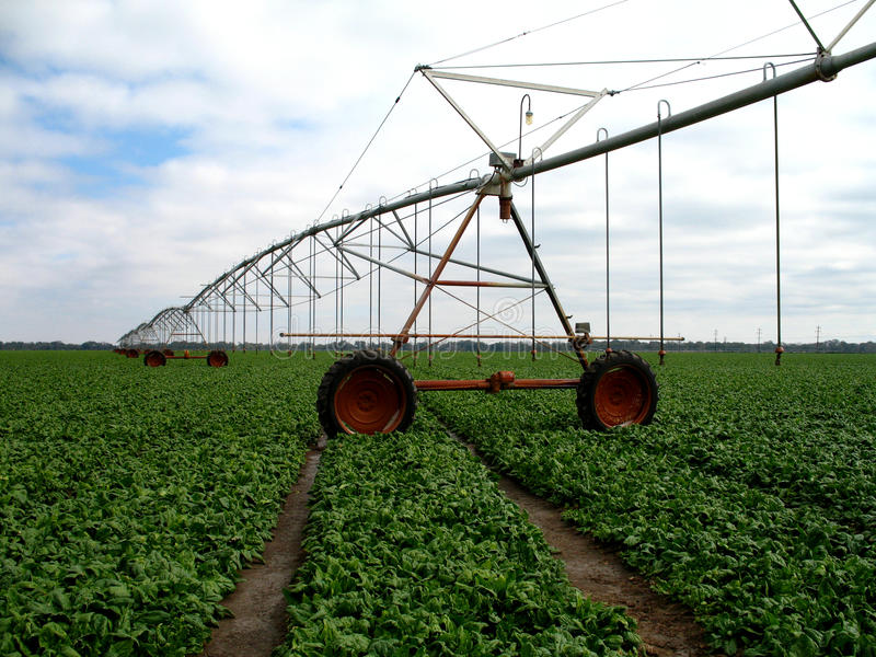 Irrigation in spinach (Spinacia oleracea) royalty free stock photos