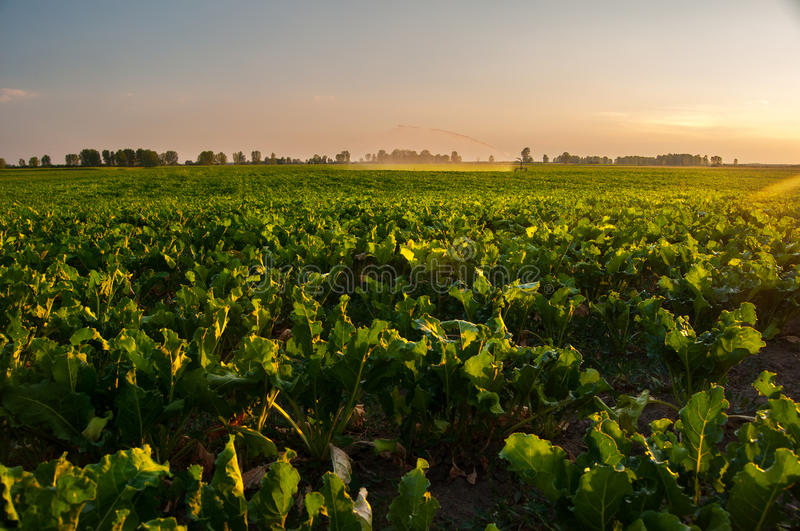 Irrigation of sugar beet agricultural field stock photography