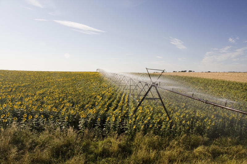 Irrigation system on sunflower field stock images