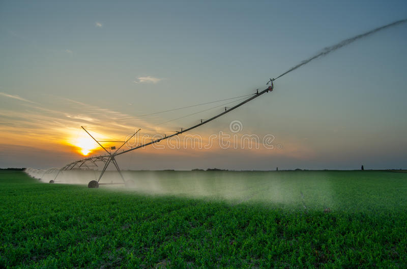 Irrigation system watering green peas agricultural field stock image