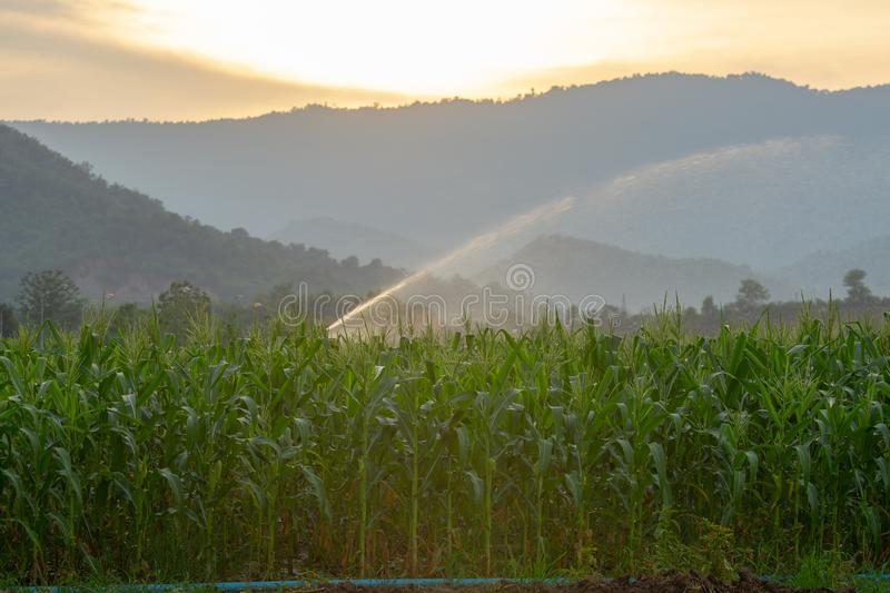 Irrigation system watering young green corn field in the agricultural garden by water springer at sunset stock images