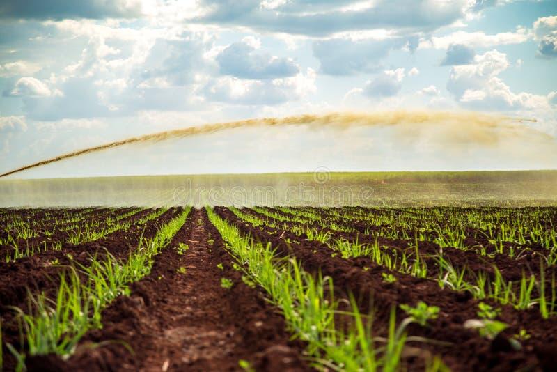 Irrigazione della piantagione di tramonto della canna da zucchero immagine stock libera da diritti