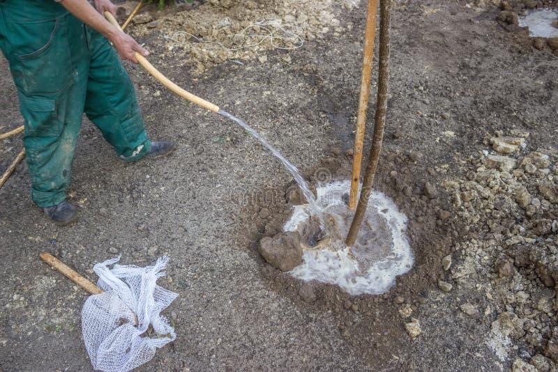 Irrigazione di un albero che è stato piantato appena 3 immagini stock libere da diritti