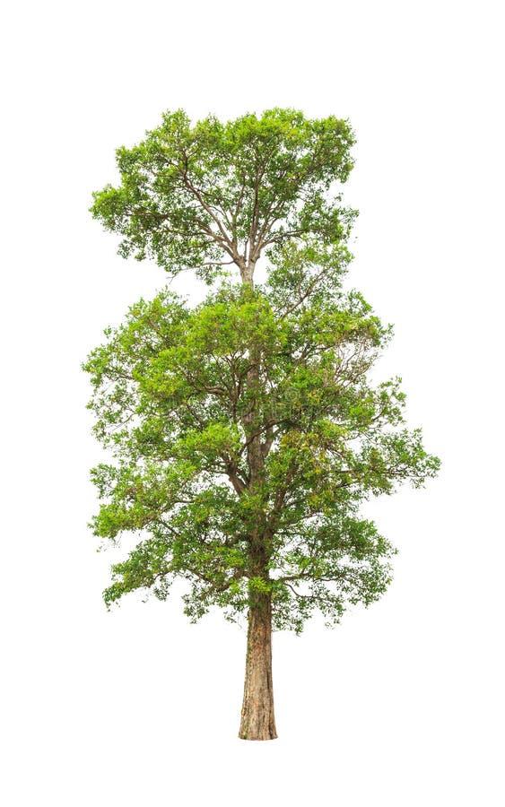 Irvingia malayana także znać jako Dziki migdał obrazy stock