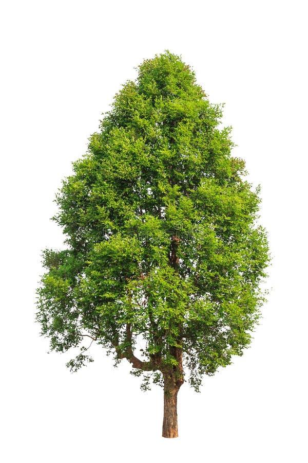 Irvingia malayana także znać jako Dziki migdał zdjęcie royalty free
