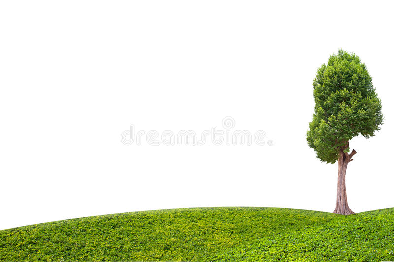 Irvingia malayana tree and green grass on isolated white background stock photography