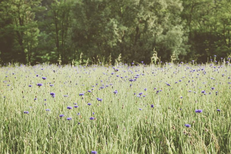 Irysa pola krajobraz fotografia stock