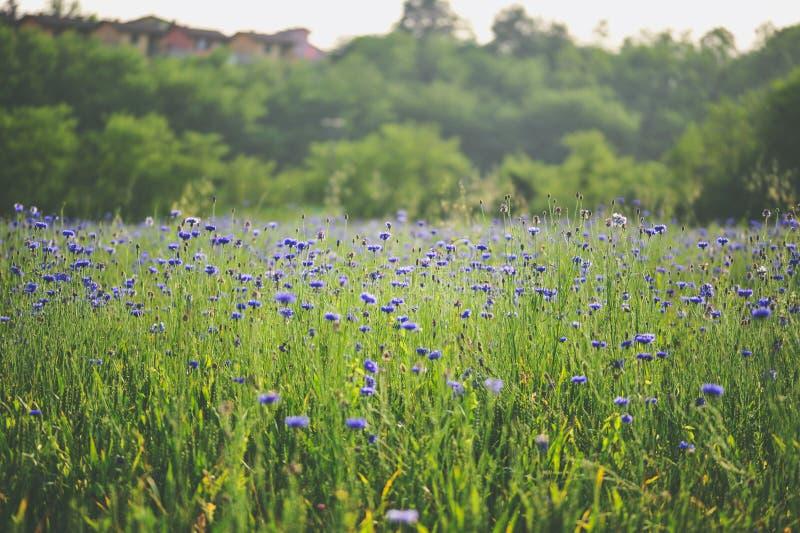 Irysa pola krajobraz zdjęcia stock