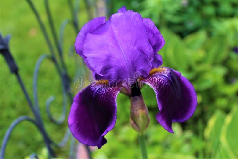 Irysowe kwiat rośliny purpury i kwitnienie obraz royalty free