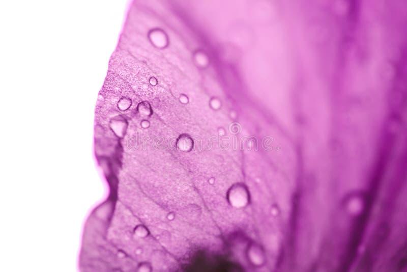 Irysowego kwiatu Makro- fotografia Fiołkowy piękny kwitnący płatek po deszczu zdjęcia royalty free
