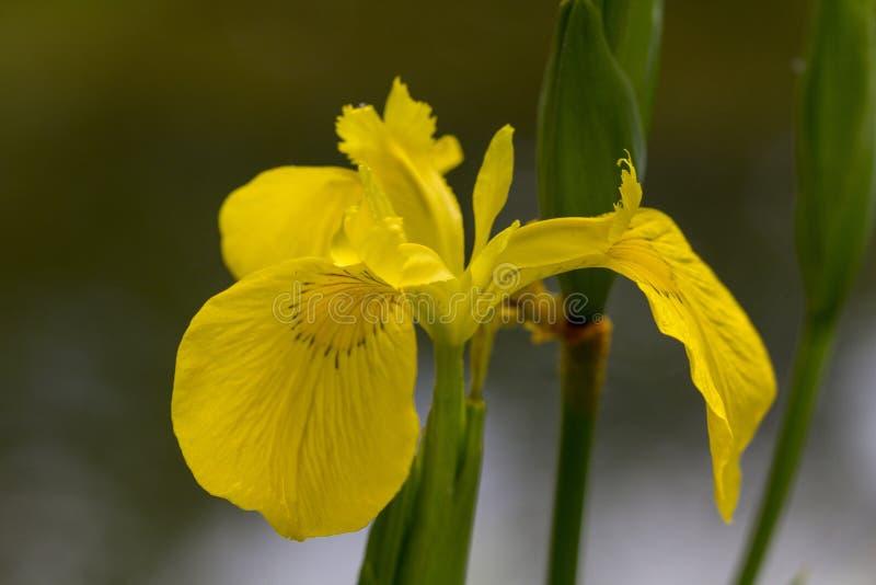 Irysowego pseudacorus Żółty kwiat, zakończenie na zielonym tle obrazy royalty free