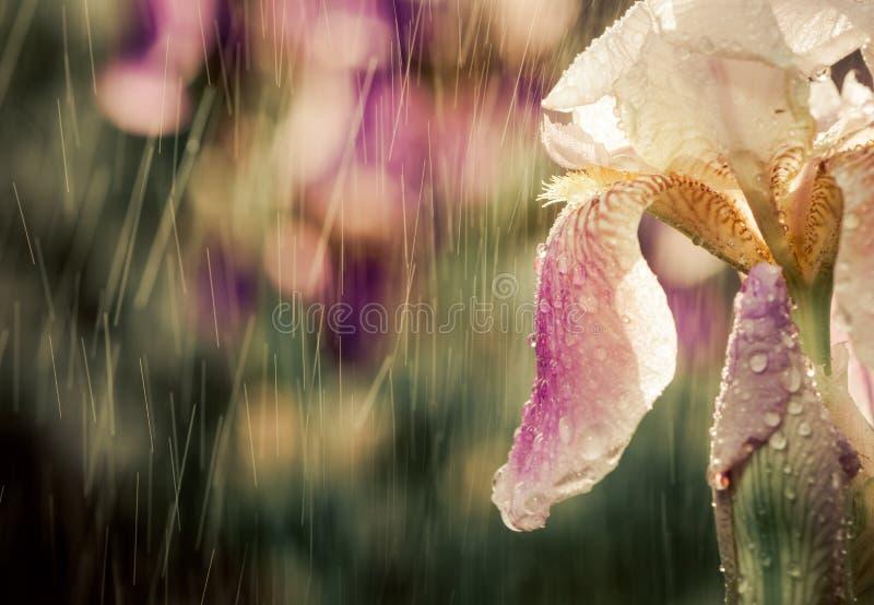 Irysowy kwiat fotografia royalty free