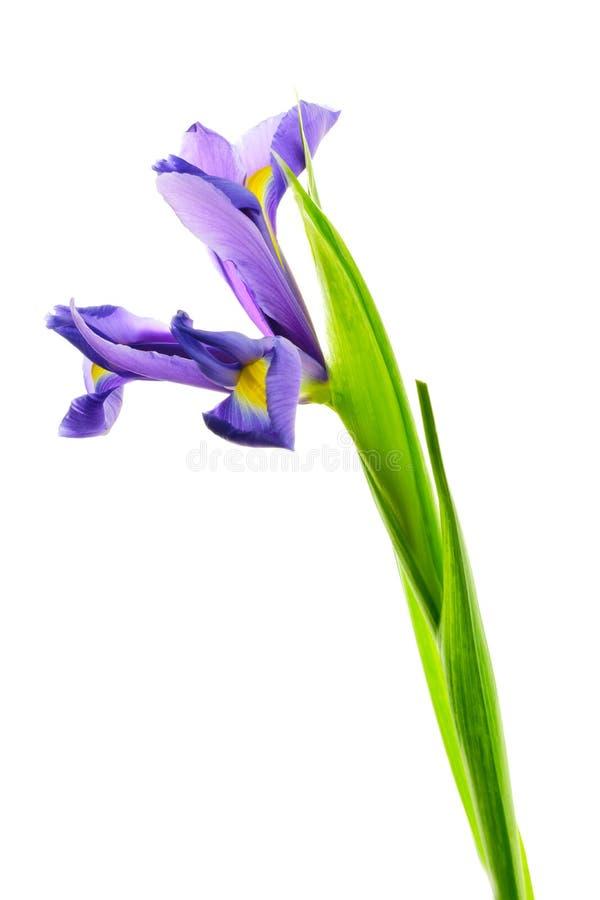 Irysowy kwiat na bia?ym tle obraz stock