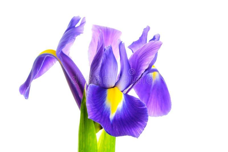 Irysowy kwiat na bia?ym tle zdjęcie stock
