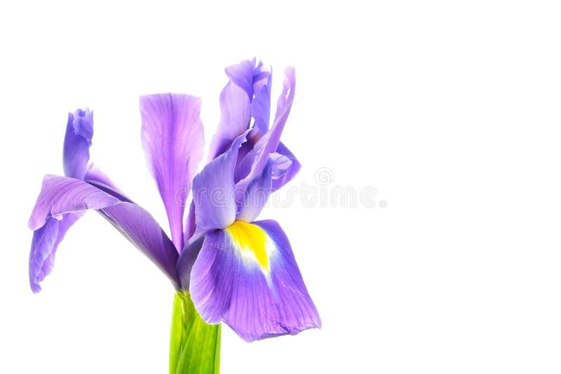 Irysowy kwiat na bia?ym tle fotografia stock