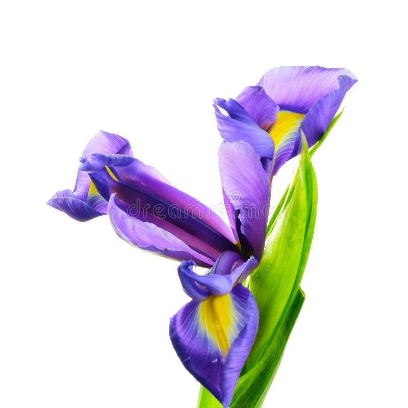 Irysowy kwiat na bia?ym tle obrazy royalty free