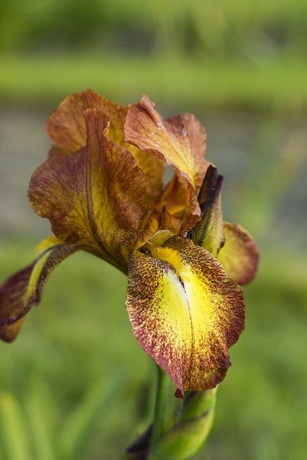 Irysowy kwiat z czerwonymi i żółtymi płatkami zdjęcia royalty free