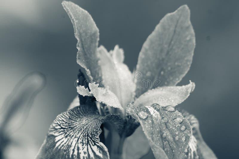 Irysowy kwiatu kwitnienie w ogródzie obraz stock