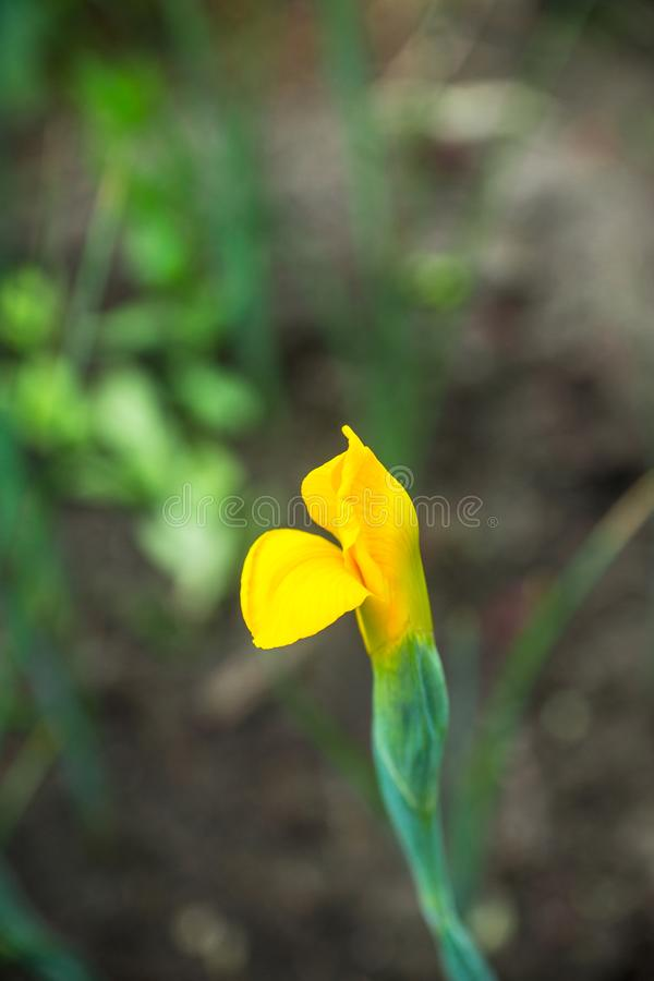 Irysowy kwiatu kwitnienie w ogródzie fotografia stock