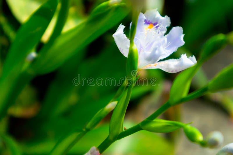 Irysowy odwiecznie ziele zdjęcia stock