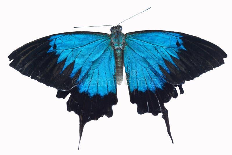 Iryzuje błękitnego Ulysses motyla zdjęcia royalty free
