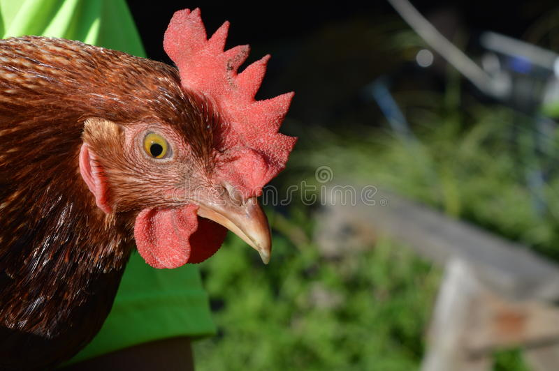 ISA brown chicken up close royalty free stock images