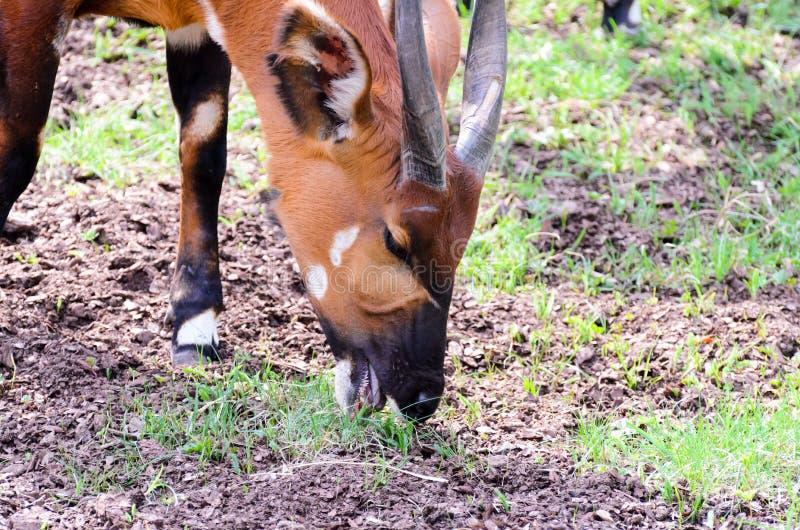 Isaaci eurycerus Tragelaphus бонго ест траву на солнечном утре весны стоковая фотография