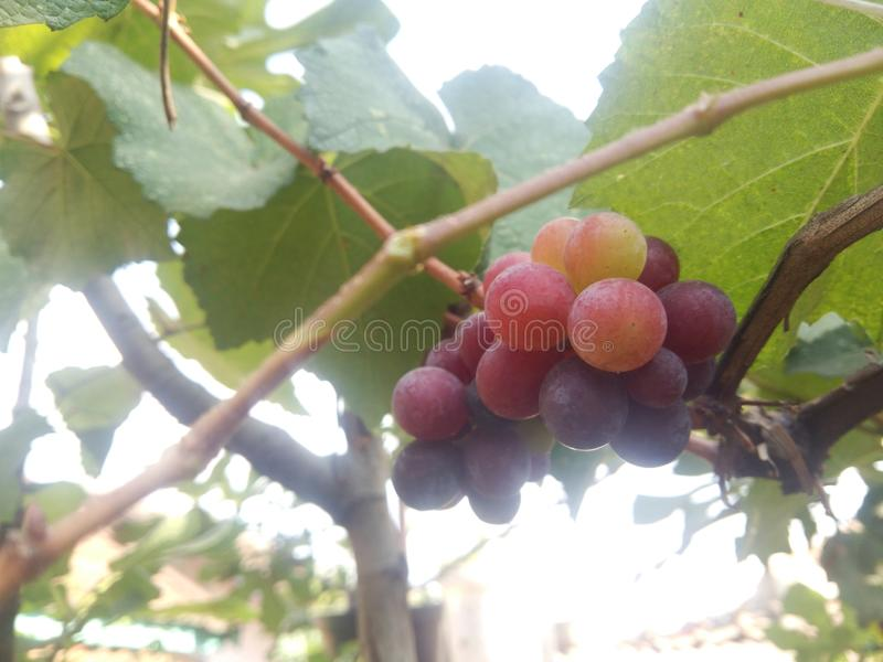 Isabel grape red purple mature grape tree grapevine vine grape cluster stock photo