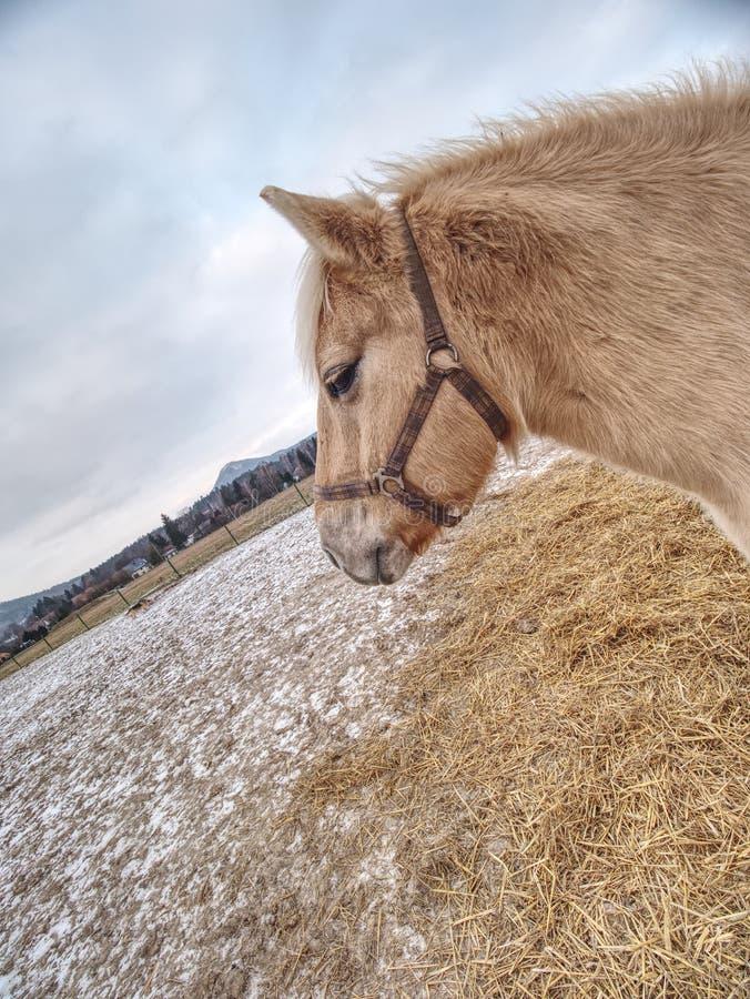 Isabella häststag på sugrörområde i lerigt fält arkivbilder
