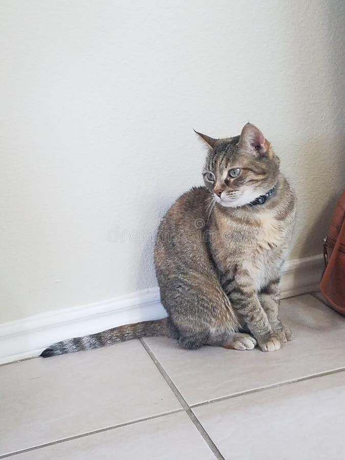 Isabella kitten royalty free stock images