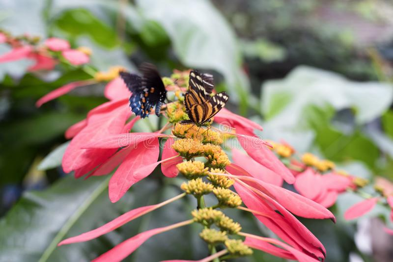 An isabella longwing and common mormon butterfly. Landing on a wild poinsettia inside of a tropical greenhouse in South Deerfield Massachusetts stock photography