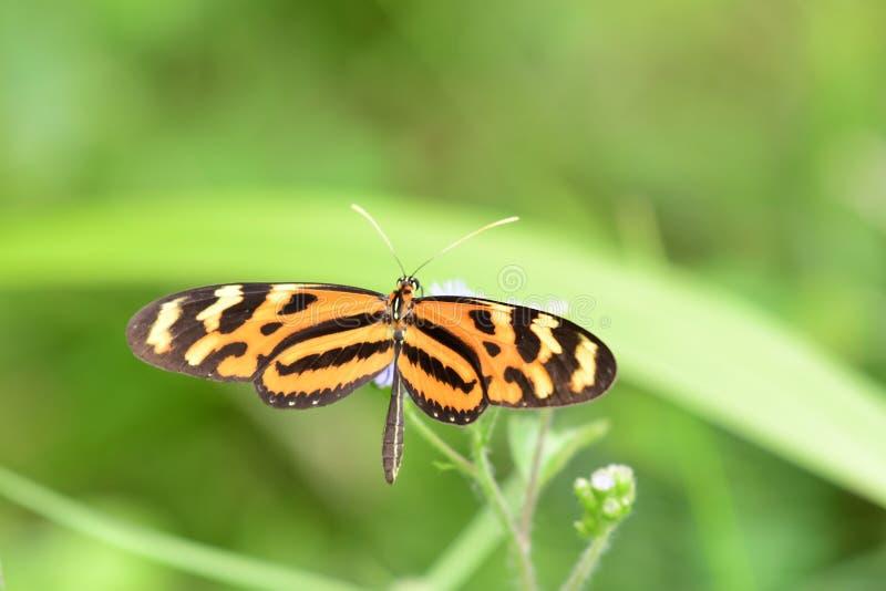 Isabella ` s που η όμορφη πεταλούδα των τροπικών κύκλων στοκ φωτογραφίες με δικαίωμα ελεύθερης χρήσης