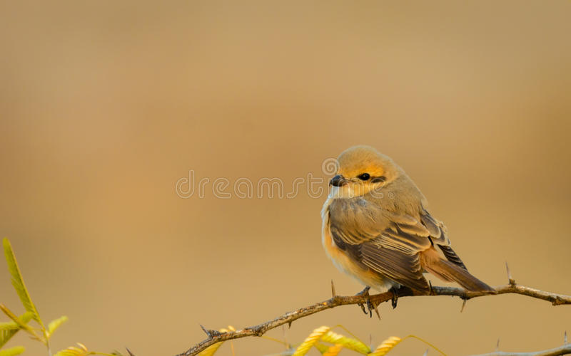 Isabelline Shrike. In beautiful pose during our recent safari to Kutch stock photos