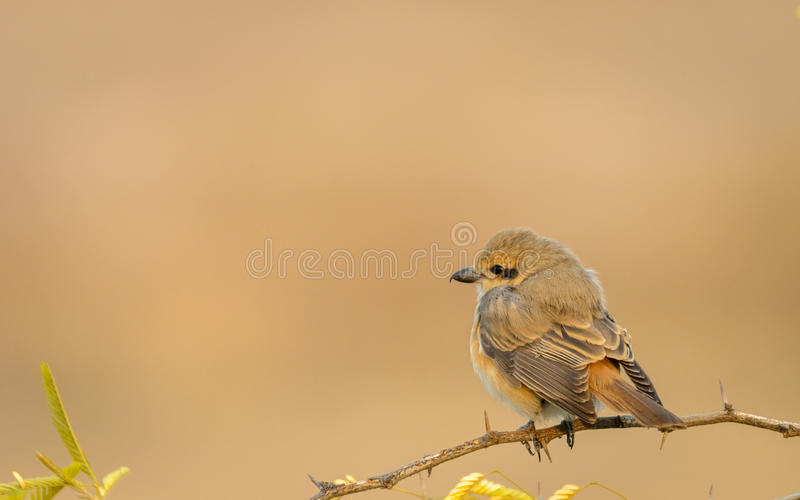 Isabelline Shrike sitting on a thorn bush. Isabelline Shrike Lanius isabellinus in beautiful pose during our recent safari to Kutch royalty free stock image