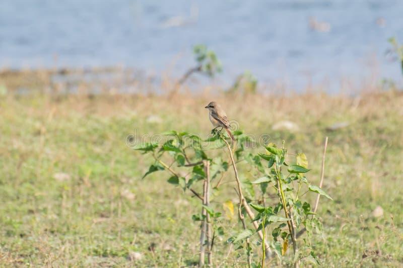 Isabellinus de Lanius de pie-grièche de pie-grièche ou de Daurian d'Isabelline photos stock