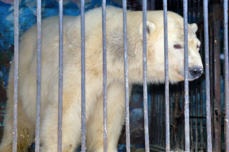 Isbjörn bak stänger i en zoobur arkivfoto