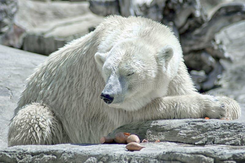 Isbjörn för global uppvärmningklimatförändringkris fotografering för bildbyråer