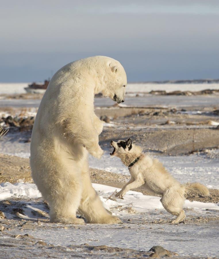 Isbjörn och hund royaltyfri fotografi