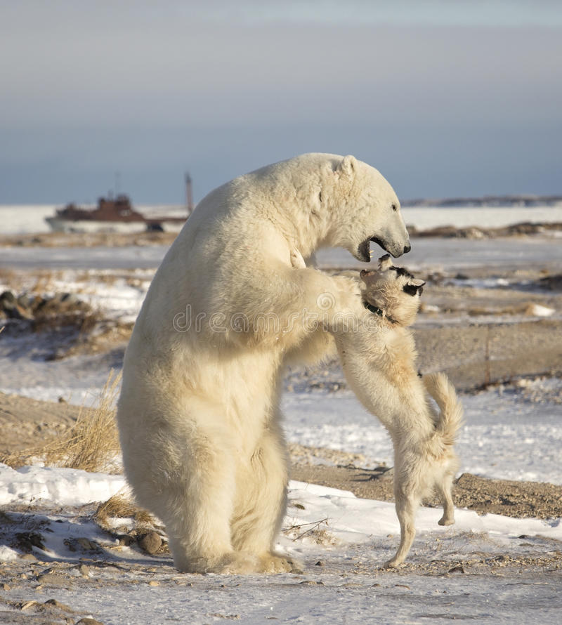 Isbjörn och hund arkivfoton
