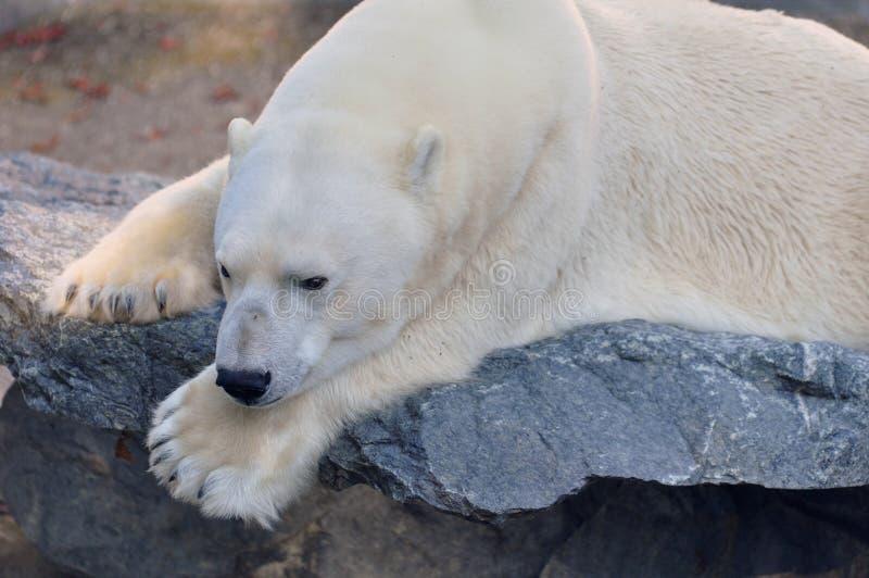 Isbjörn på en avsats royaltyfri fotografi