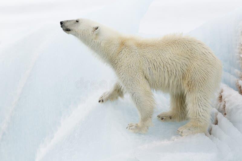Isbjörn på isberget royaltyfri fotografi