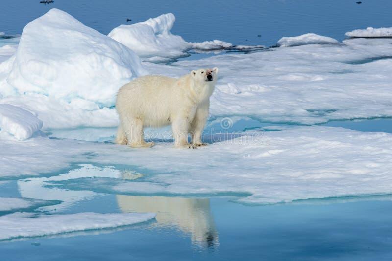 Isbjörn på isen royaltyfri foto